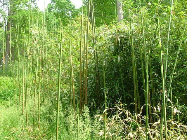 Killing Bamboo